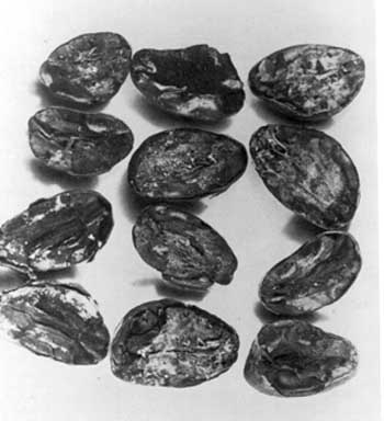 Cocoa bean rejects due to mold