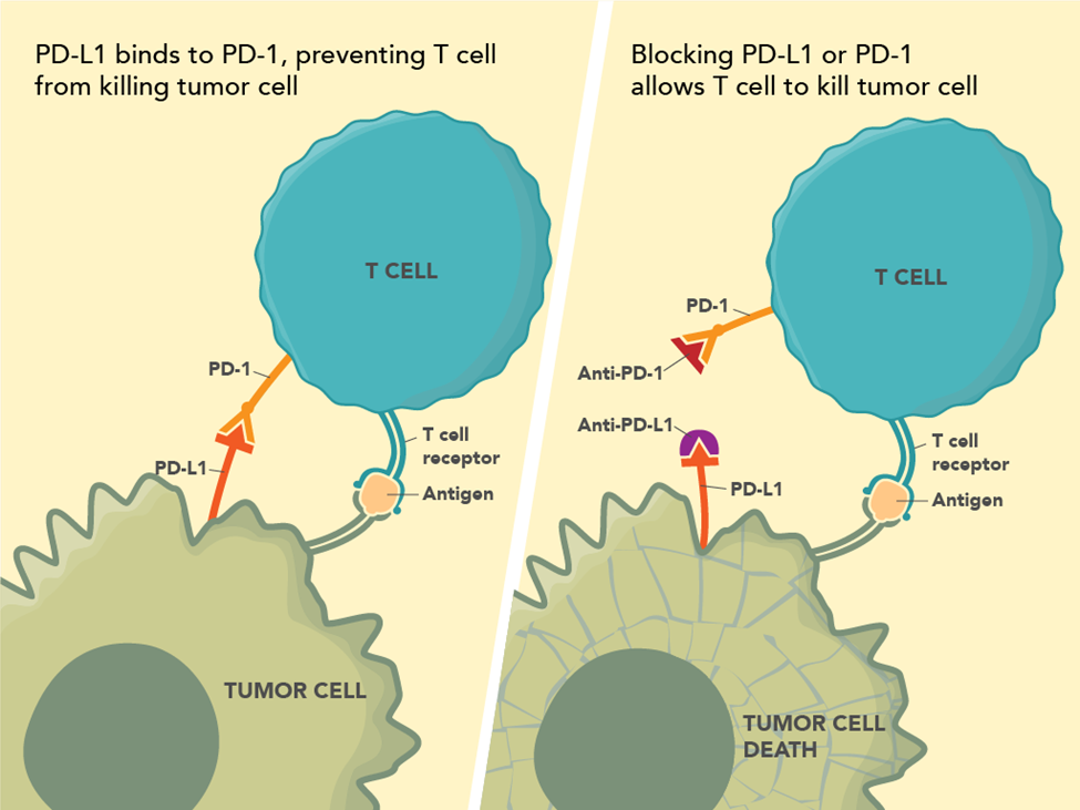 Figure 1: This figure shows the mechanism of action for immune checkpoint inhibitors that target PD-1 or PD-L1. PD-L1 binds to PD-1, preventing the T cell from killing the tumor cell. Blocking PD-L1 or PD-1 allows the T cell to kill the tumor cell.