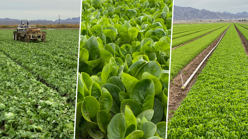 collage of three photos showing various types of leafy greens growing in fields, including a tractor, soil, and an irrigation pipe with a sprinkler