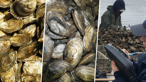 collage of three photos featuring closeups of oysters and clams and wide shot of an FDA inspector overseeing a person sorting harvested oysters