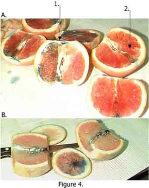 Temperature Differences on Dye Uptake by Oranges and Grapefruit Fig 4