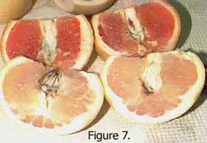 Temperature Differences on Dye Uptake by Oranges and Grapefruit Fig 7