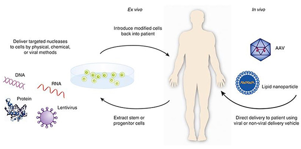 This graphic depicts the two major types of gene therapy.  The illustration on the left shows ex vivo gene therapy, where the cells are modified outside the body and then are delivered back to the patient.  The illustration on the right shows in vivo gene therapy, where the genetic modification of the cell takes place inside the body.