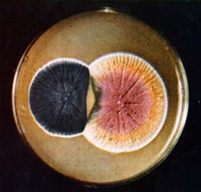 Penicillin mold growing in a petri dish