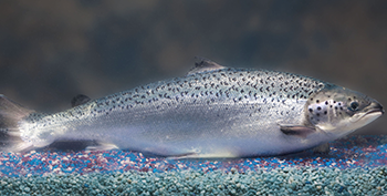 AquAdvantage Salmon-AquaBounty Technologies (350x117)